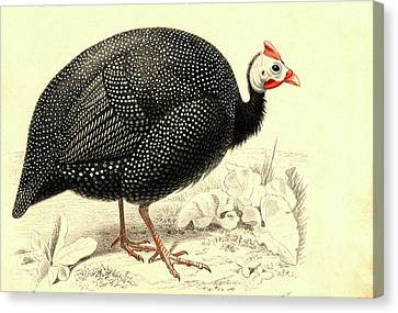 Helmeted Guineafowl Canvas Print by Collection Abecasis