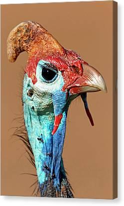 Helmeted Guineafowl Head Canvas Print by Bildagentur-online/mcphoto-schaef