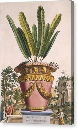 Ruin Canvas Print - Hemionitis Crispa Media Obtusifolia by Abraham Munting