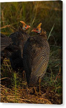 Hens Canvas Print by Aaron Bedell