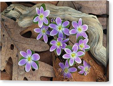 Hepatica Flowers Growing Through Fallen Canvas Print by Panoramic Images