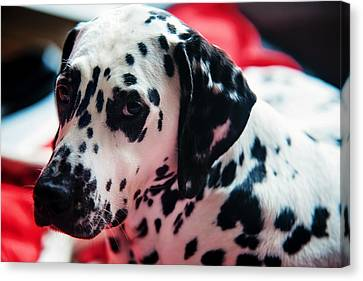 Her Eyes. Portrait Of Dalmation Dog. Kokkie Canvas Print by Jenny Rainbow