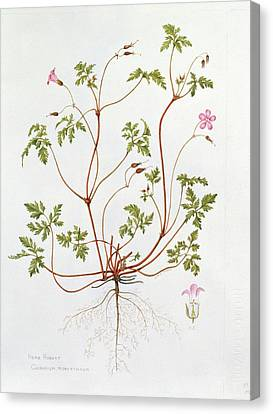 Herb Robert Canvas Print by Diana Everett