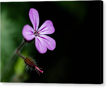 Herb Robert - Geranium Robertianum Canvas Print by Brian Xavier