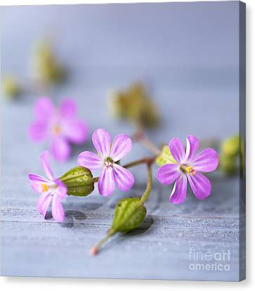 Geranium Canvas Print - Herb Robert by Jan Bickerton