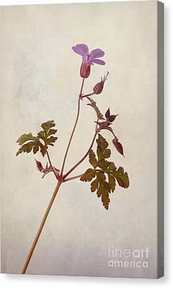 Macro Geranium Flower Canvas Print - Herb Robert by John Edwards