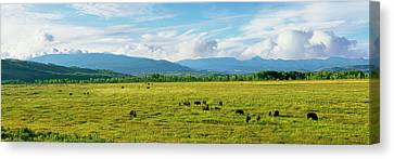 Herd Of Bison Grazing In A Field Canvas Print