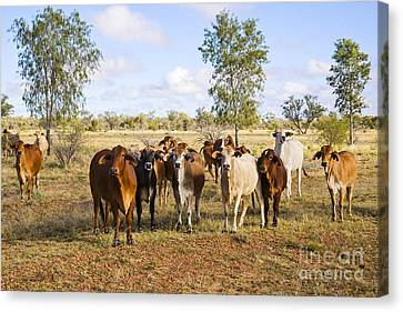 Herd Of Brahman Cattle In Outback Queensland Canvas Print by Colin and Linda McKie
