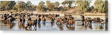 Herd Of Cape Buffalos Syncerus Caffer Canvas Print by Panoramic Images