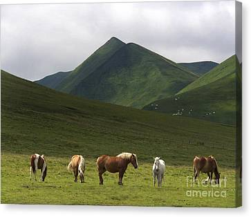 Herd Of Horses. The Sancy Massif. Auvergne. France. City	 Canvas Print