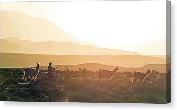Herd Of Llamas Lama Glama In A Desert Canvas Print by Panoramic Images