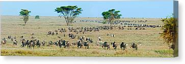 Herd Of Wildebeest And Zebras Canvas Print by Panoramic Images