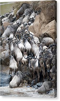 Gnu Canvas Print - Herd Of Wildebeests Crossing A River by Panoramic Images