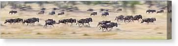 Herd Of Wildebeests Running In A Field Canvas Print by Panoramic Images