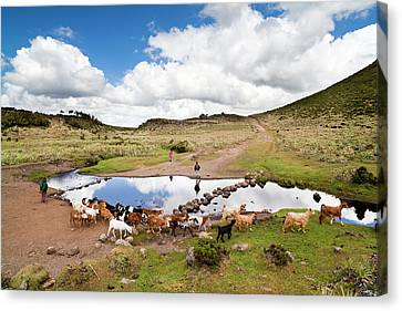 Herd Tended By Oromo Children Canvas Print