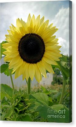 Here Comes The Sun...flower. Canvas Print