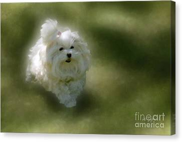 Toy Maltese Canvas Print - Here She Comes by Lois Bryan
