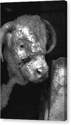 Hereford Bull In Black And White Canvas Print by Cathy Anderson