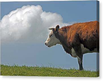 Canvas Print featuring the photograph Hereford Cow by Dennis Cox WorldViews
