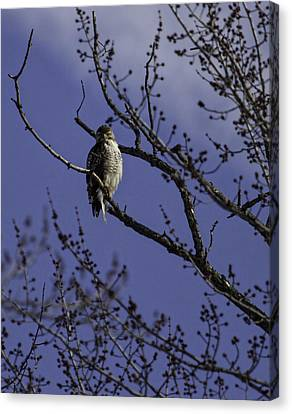 Here's Looking At You Canvas Print by Thomas Young