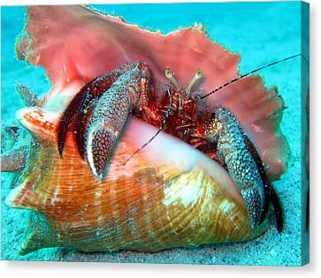 Hermit Crab Caribbean Sea Canvas Print by Laura Hiesinger