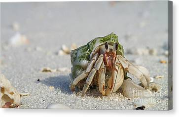 Hermit Crab Canvas Print by Hannes Cmarits