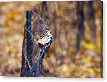 Hermit Thrush On Fence Canvas Print by Laura George