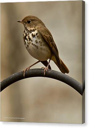 Canvas Print featuring the photograph Hermit Thrush by Robert L Jackson