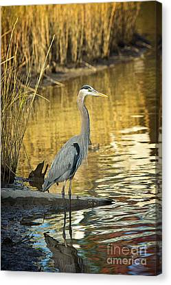 Heron Along The Bayou Canvas Print by Joan McCool