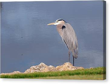 Heron And Pond Canvas Print by Kenny Francis