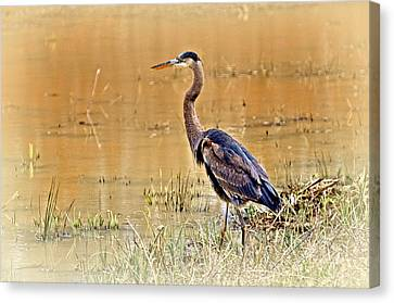 Heron At Sunset Canvas Print by Marty Koch