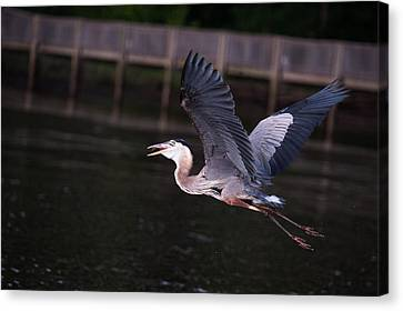 Heron Eat And Run Canvas Print by Jillian  Chilson