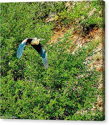 Heron Flies Over Oak Creek In Red Rock State Park Sedona Arizona Canvas Print by Bob and Nadine Johnston