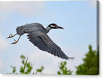 Heron Flight Canvas Print