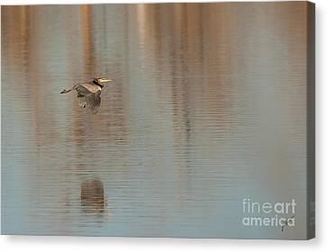 Heron In Flight Canvas Print