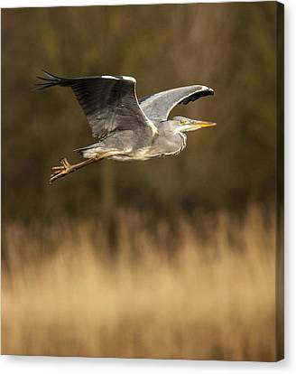 Heron In Flight Canvas Print by Simon West