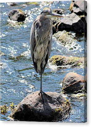 Canvas Print featuring the photograph Heron On One Leg by Kenny Glotfelty