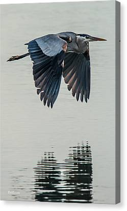 Heron On The Wing Canvas Print