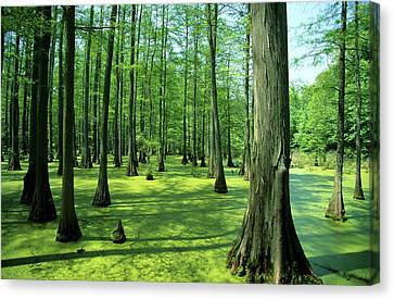 Heron Pond Bald Cypress Trees In Little Canvas Print by Richard and Susan Day