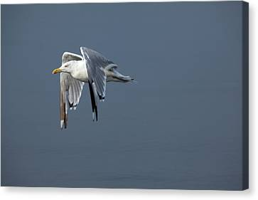 Herring Gull In Flight Canvas Print by Karol Livote