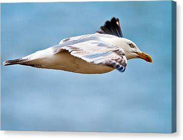 Herring Gull In Flight Canvas Print
