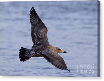 Canvas Print featuring the photograph Herring Gull In Flight Photo by Meg Rousher