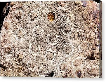 Hexagonaria Fossil Coral Canvas Print by Dirk Wiersma