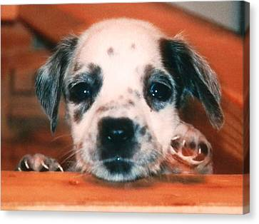Dalmatian Sweetpuppy Canvas Print
