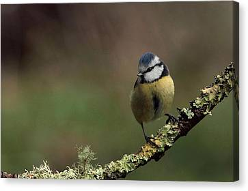 Hi There Canvas Print by Peter Skelton