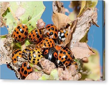 Hibernating Harlequin Ladybirds Canvas Print