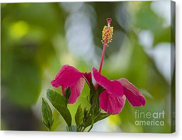 Hibiscus Blooming Canvas Print