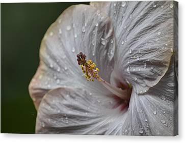 Hibiscus Dew Canvas Print by Trish Tritz