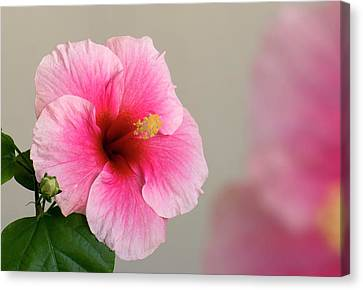 Hibiscus Flower Canvas Print by K Jayaram