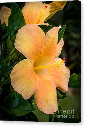Hibiscus Flower Canvas Print by Zina Stromberg